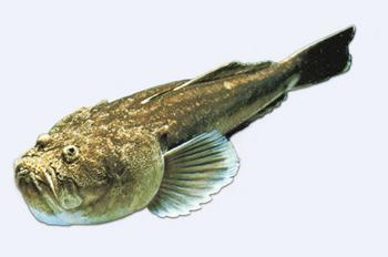 E fish mercato ittico di pescara pesce prete - Pagina di colorazione del pesce ...